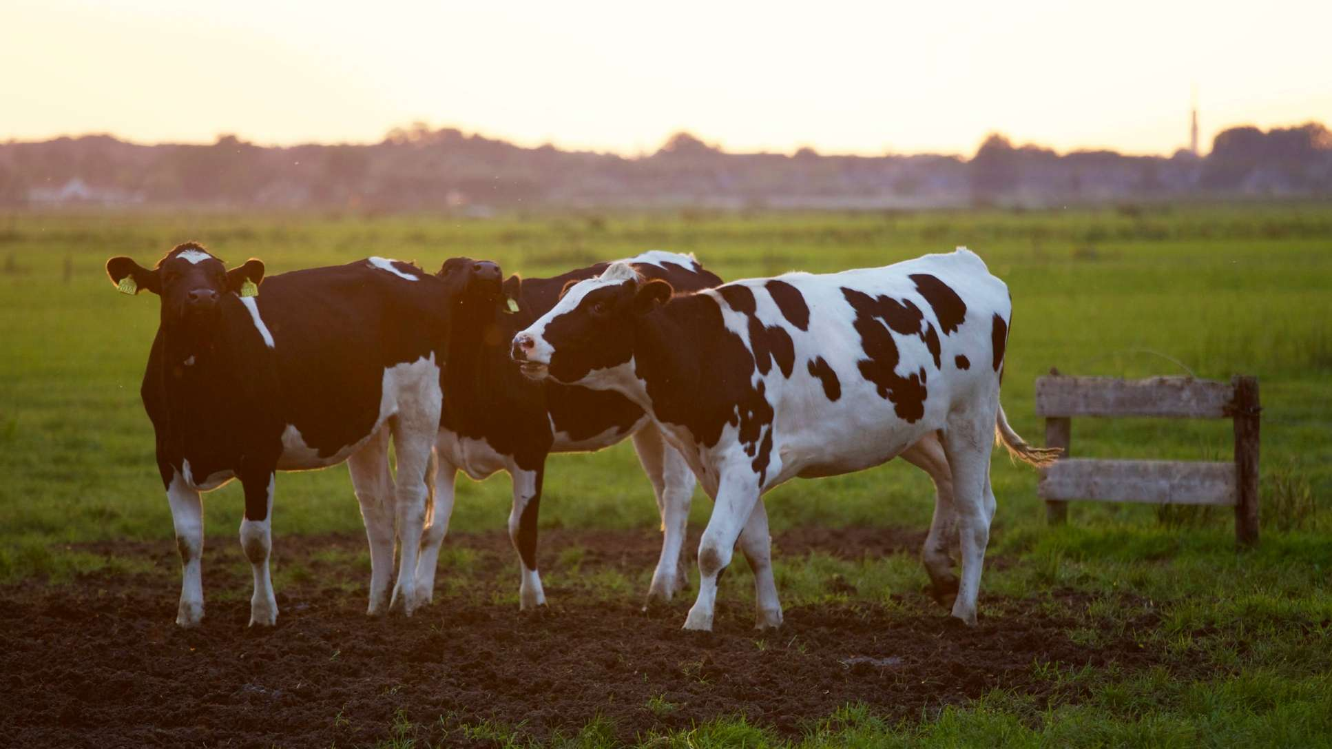 black and white cows in field