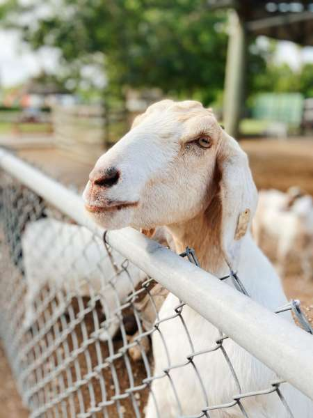 Goat looking over fence